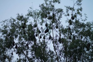 Fruit bats at Port douglas