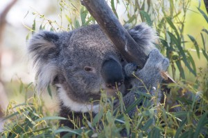 Koala at Bongorong Wildlife Sanctuary
