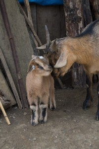 Goats at the remote farm