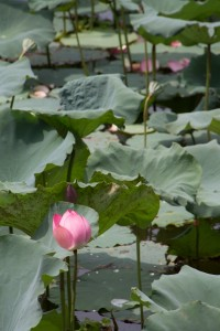 Flowering lily pad in the moat