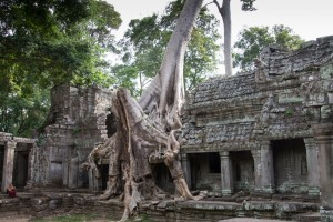 Temple-eating tree at Ta Prohm