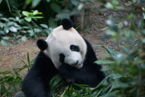 Giant Panda at Singapore Zoo