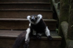 Lemur at Singapore Zoo