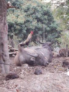 A cockerel on a buffalo